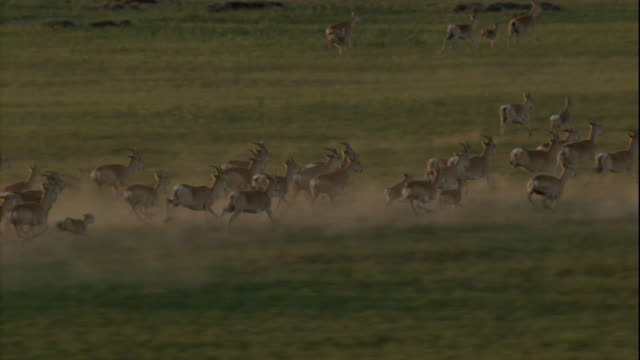 vidéos et rushes de a herd of gazelles stampedes through the mongolian steppe. available in hd. - troupeau