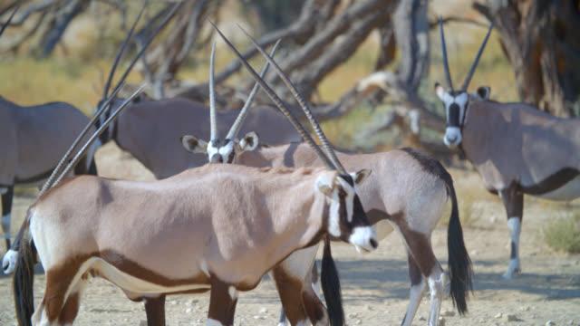 MS Herd of gemsbok (Oryx gazella) in desert / Kgalagadi Transfrontier Park, Kgalagadi District, South Africa