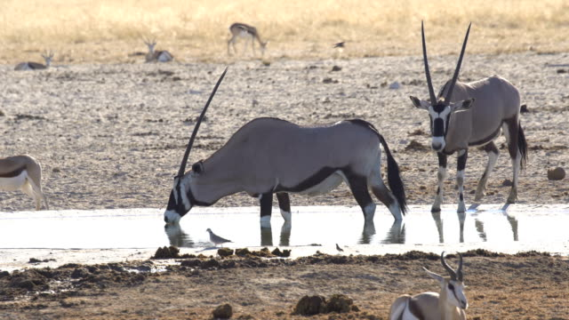 stockvideo's en b-roll-footage met a herd of gemsbuck (oryx gazella) drinking water in etosha national park, namibia - gehoornd