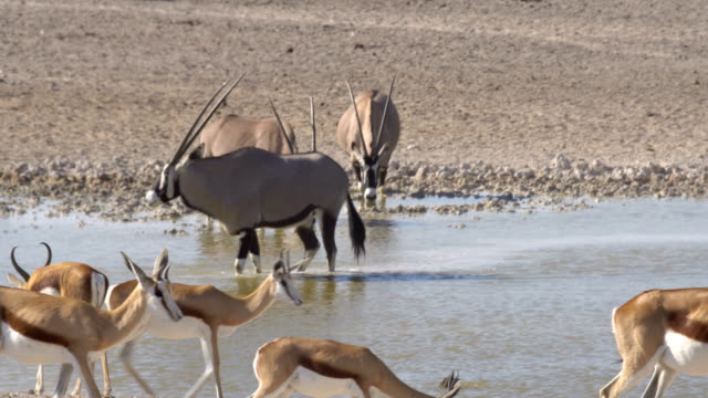A herd of Gemsbuck (Oryx gazella) drinking water in Etosha National Park, Namibia