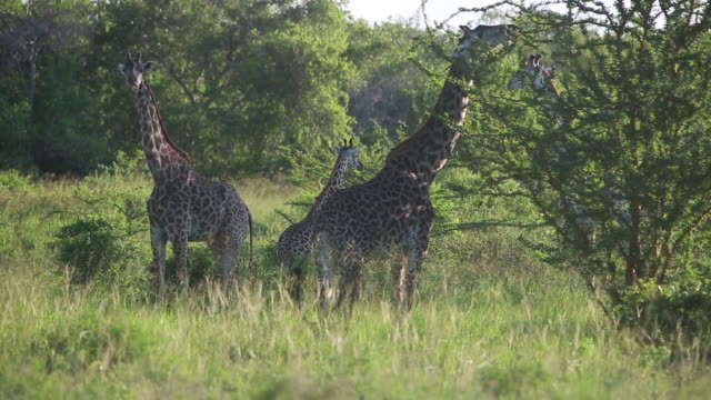 herd of giraffe distant 1 - distant stock videos and b-roll footage