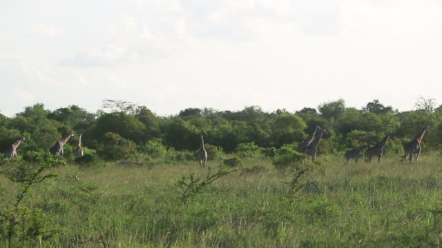 herd of giraffe distant 3 - distant stock videos and b-roll footage