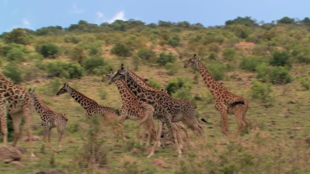 vídeos de stock, filmes e b-roll de ms, pan, herd of giraffe (giraffa camelopardalis) running along hillside, laikipia, kenya - girafa