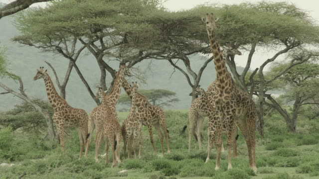 A herd of giraffe stand near acacia trees in Serengeti National Park.
