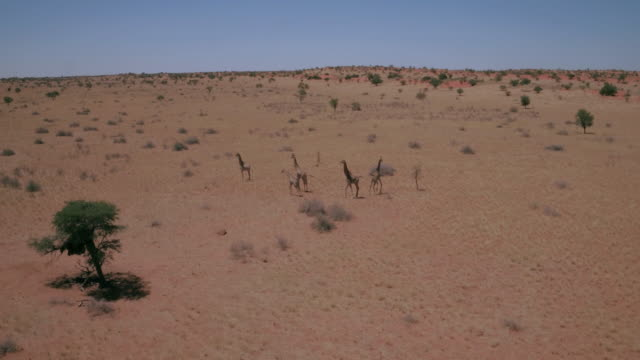 vídeos y material grabado en eventos de stock de manada de jirafas en desierto de kalahari - desierto del kalahari