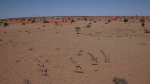 herd of giraffes running in the kalahari desert - herd stock videos & royalty-free footage