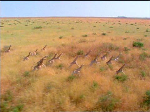 aerial herd of giraffes running on golden plains away from camera - herbivorous stock videos & royalty-free footage
