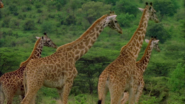 A herd of giraffes walk across a plain. Available in HD.