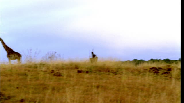 stockvideo's en b-roll-footage met ds herd of giraffes walking atop a low hillside in their natural habitat - laag camerastandpunt