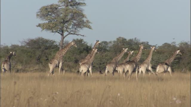a herd of giraffes walks across grasslands. available in hd. - giraff bildbanksvideor och videomaterial från bakom kulisserna