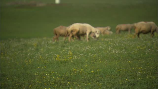ms herd of goats and sheep walking through green field, huitengxile, inner mongolia, china - 羊の群点の映像素材/bロール