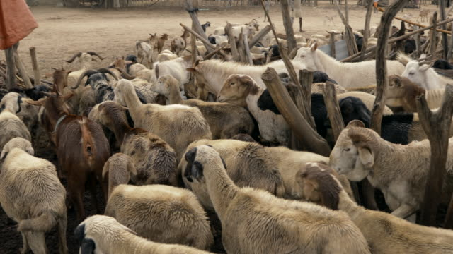 herd of goats coming out from cage / ethiopia, africa - ethiopia stock videos & royalty-free footage