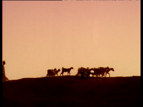 vidéos et rushes de herd of goats followed by goatherd in traditional dress walk along desert silhouetted against sunset - coiffe traditionnelle