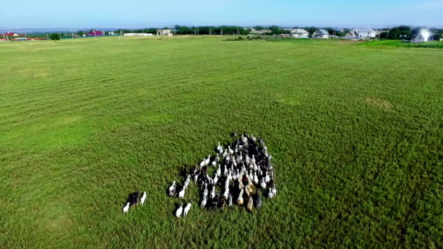 herd of goats in the field - stampeding stock videos & royalty-free footage
