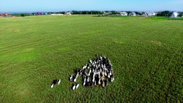 vídeos de stock, filmes e b-roll de rebanho de cabras no campo - manada