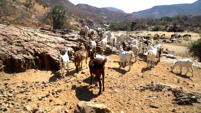 A herd of goats near Epupa Falls on the Kunene River, Namibia
