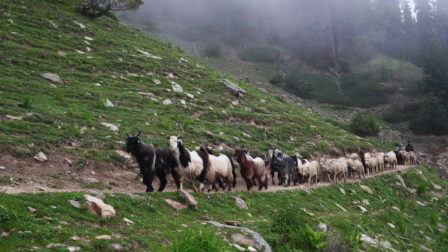 herd of goats walking on mountain trail - flock of sheep stock videos & royalty-free footage
