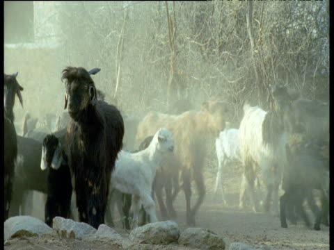 Herd of goats walks down dusty lane followed by shepherd, India