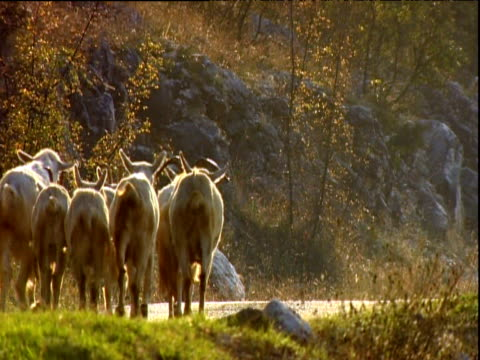 Herd of goats with wagging tails walk away from camera Mostar