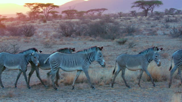 stockvideo's en b-roll-footage met herd of grevy's zebra walking samburu  kenya  africa - wilde dieren