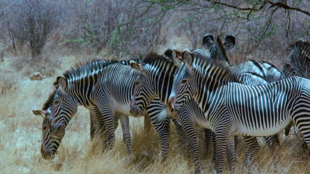 vídeos y material grabado en eventos de stock de herd of grevy's zebras under tree samburu  kenya  africa - grupo de animales