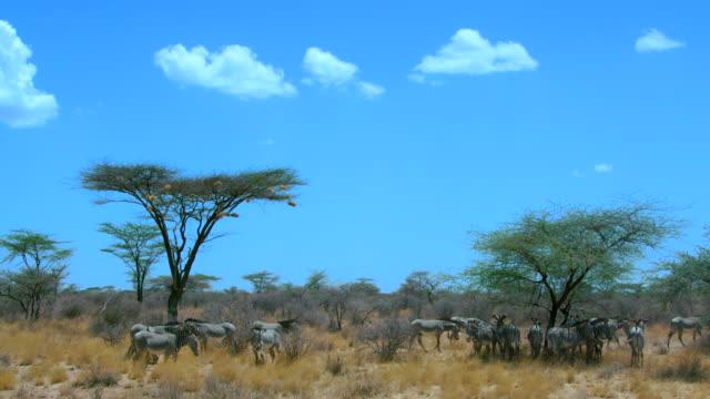 vídeos de stock, filmes e b-roll de herd of grevy's zebras under tree samburu  kenya  africa - reserva animal