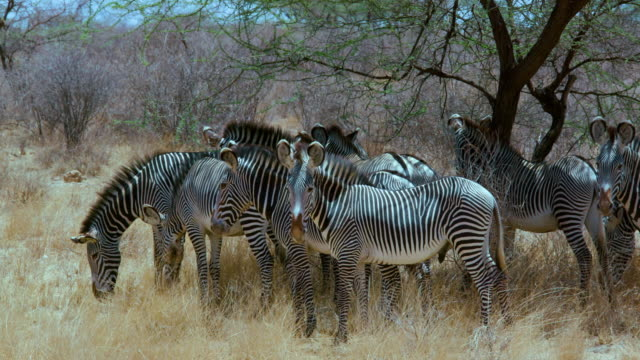 herd of grevy's zebras under tree samburu  kenya  africa - grasen stock-videos und b-roll-filmmaterial