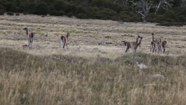 a herd of guanaco crossing a street near the city of ushuaia in tierra del fuego in argentina - アルゼンチン文化点の映像素材/bロール