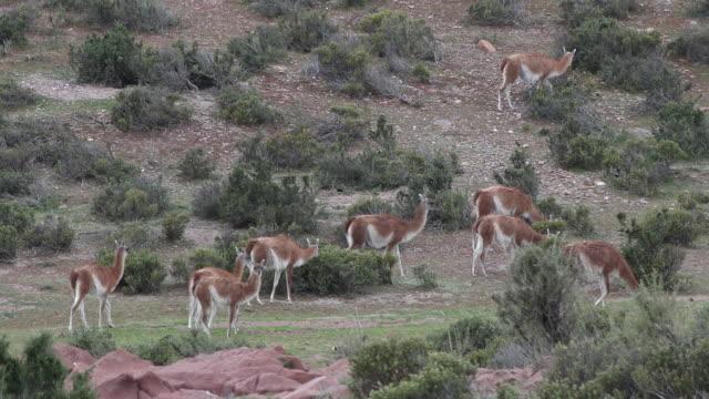 herd of guanacos in patagonia - アルゼンチン点の映像素材/bロール
