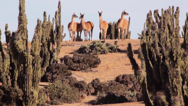 herd of guanacos is seen in lomitas sector in parque nacional pan de azucar, in the atacama desert. theyõre surrounded by the cactus forest, mostly... - hd format stock videos & royalty-free footage