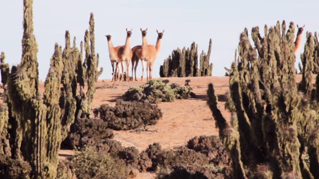herd of guanacos is seen in lomitas sector in parque nacional pan de azucar, in the atacama desert. theyõre surrounded by the cactus forest, mostly... - kaktus stock-videos und b-roll-filmmaterial