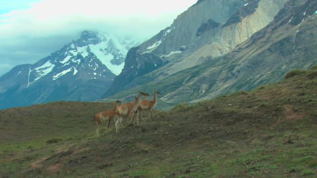 vídeos y material grabado en eventos de stock de ws, pan, herd of guanacos (lama guanicoe) walking up hillside, snowcapped mountains in background, patagonia, argentina - grupo pequeño de animales