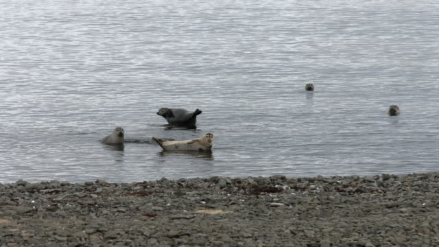 a herd of harbour seals swim near the shoreline.  - harbour seal stock videos & royalty-free footage