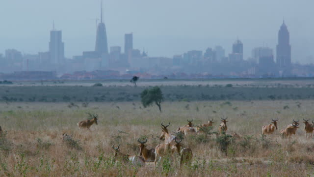 herd of hartebeest & nairobi city nairobi  kenya  africa - nairobi stock videos and b-roll footage