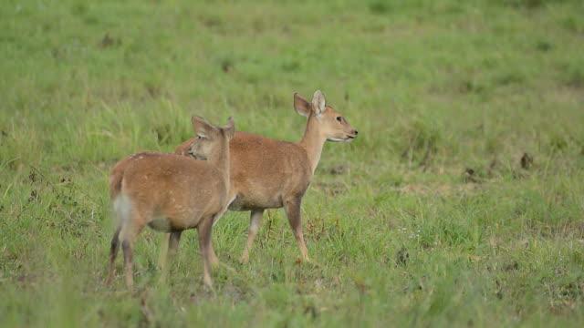 動物の群れの豚の草地みよう - 木を抱く点の映像素材/bロール
