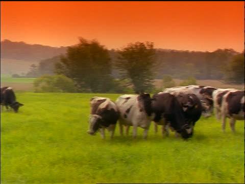 PAN herd of Holstein cows grazing in green field / hills in background / orange filter