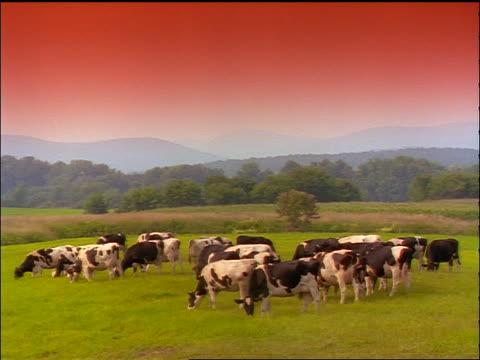 herd of holstein cows grazing in green field / mountains in background / orange filter - herbivorous stock videos & royalty-free footage