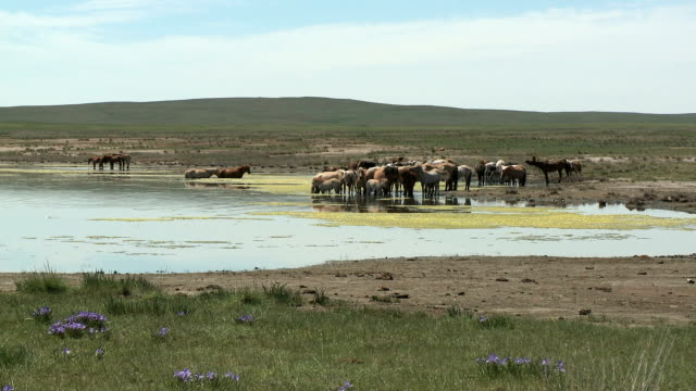 herd of horses at waterhole on mongolian steppe - independent mongolia stock videos & royalty-free footage