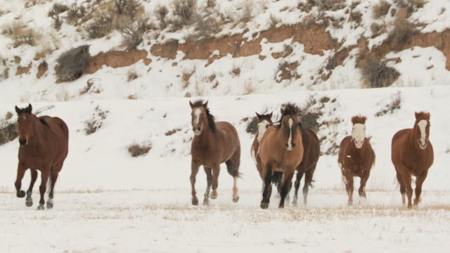 vídeos de stock e filmes b-roll de slo mo ws pan herd of horses galloping in snowy landscape / shell, wyoming, usa - pelagem de animal