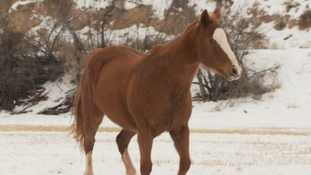 slo mo ms herd of horses galloping in snowy landscape / shell, wyoming, usa - 数匹の動物点の映像素材/bロール