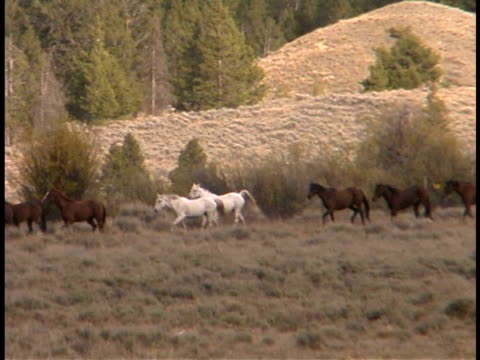 vidéos et rushes de ms, pan, herd of horses in field, fall colors, wyoming, usa - groupe moyen d'animaux