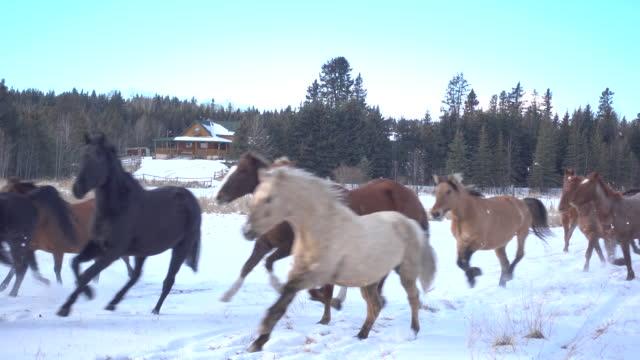 herde von pferden durch gefrorenen koppel laufen - anmut stock-videos und b-roll-filmmaterial
