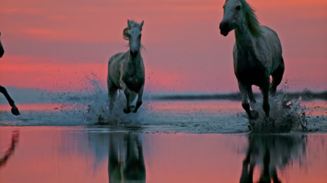 slo mo herd of horses running on the beach at dusk - horse stock videos & royalty-free footage