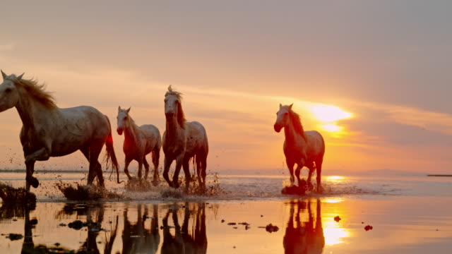 slo mo herd of horses running on the beach at sunset - horse stock videos & royalty-free footage
