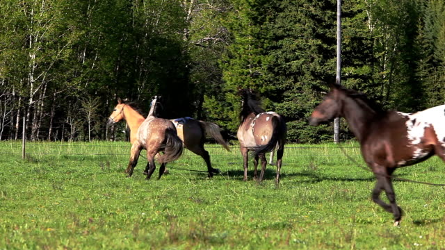 herd of horses running - appaloosa stock videos & royalty-free footage