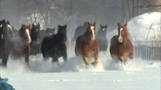 A herd of horses trots through the snowy Tokachi Pasture in Japan