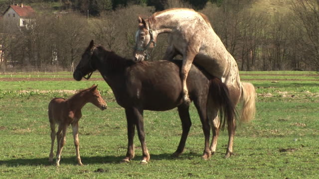 ws pan herd of horses walking in pasture, then male horse mates with female horse in ljubljansko barje / notranjska, slovenia - comportamento animale video stock e b–roll