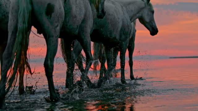 vidéos et rushes de slo mo troupeau de chevaux marchant dans l'eau peu profonde au crépuscule - étendue sauvage état sauvage