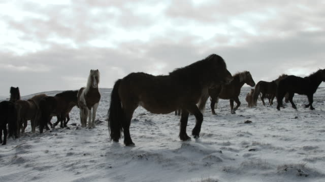 a herd of icelandic horses stare at the camera.  - curiosity stock videos & royalty-free footage