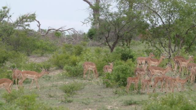 herd of impala and lambs walk across bushy crest, kruger national park, south africa - provinz mpumalanga stock-videos und b-roll-filmmaterial